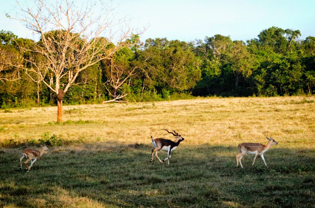 deer running in the prairies of Cayo Saetia