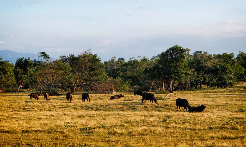 animals grazing in the grasslands of Cayo Saetia