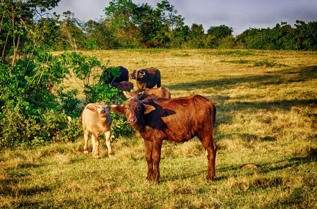 animals grazing in the grasslands of Cayo Saetia