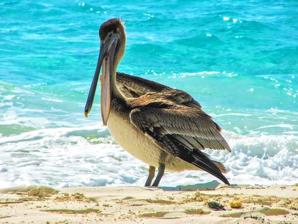 pelican on the beach punta frances